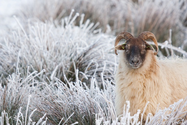 sheep-winter-landscape-pračlověk.jpg